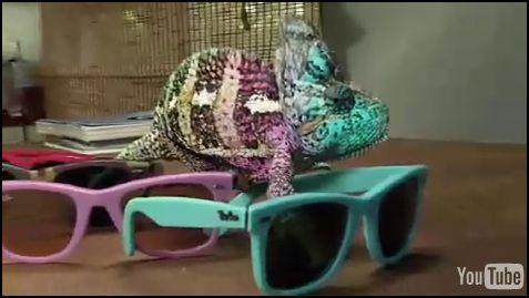 Le caméléon qui essayait des lunettes…